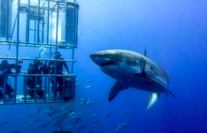 Shark Diving South Africa